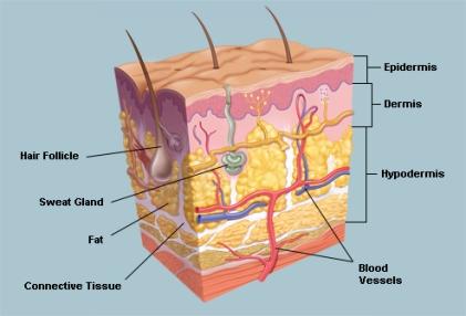 skin layers.jpg